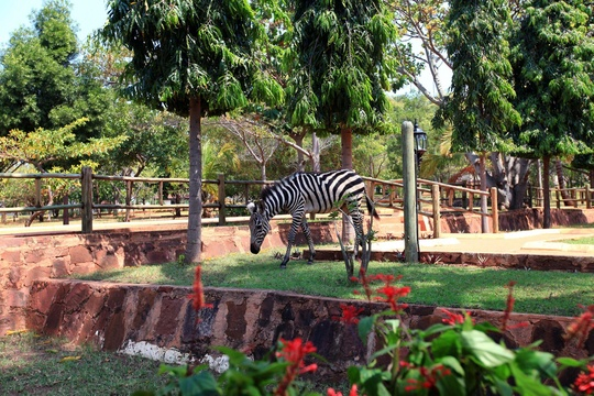 Zebra on the hotel grounds